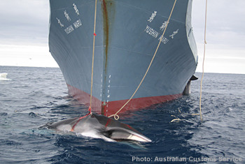 news_090421_1_australian_customs_whaling_in_the_southern_ocean