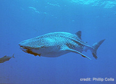 news_090708_1_Whale_Shark_-_Galapagos_-_Phillip_Colla